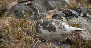 Alpenschneehuhn – Gefiedertes Chamäleon