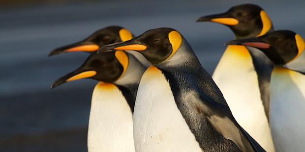 Mysteriöser Pinguinschwund auf der Île aux Cochons