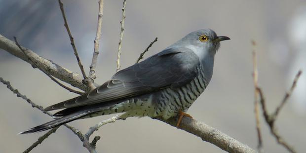 Von Kuckuckseiern und Rabeneltern: <br/> Irrtümer aus der Vogelwelt