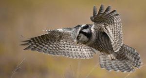 Sperbereule – Nordisches Jagdtalent