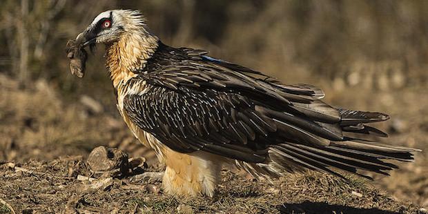 Bartgeier: Der Knochenfresser unter den Vögeln