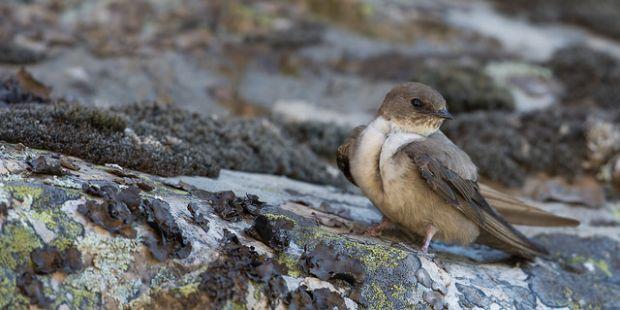 Felsenschwalbe – Unscheinbare Flugkünstlerin