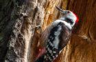 Mittelspecht – Quäkender Habitatsspezialist