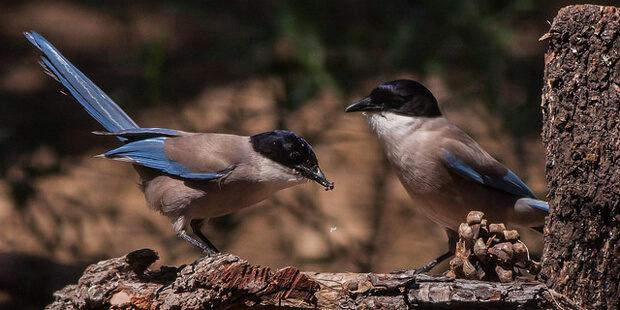 Blauelster – Baumkronenbrüterin in Azur