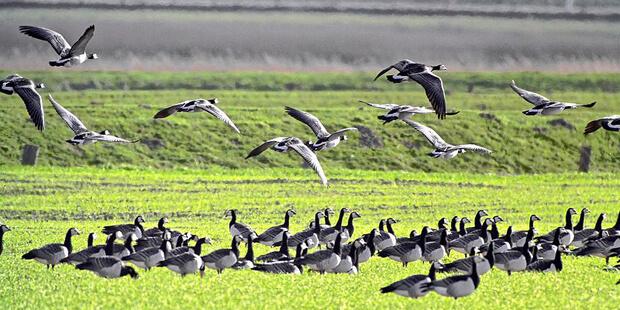 Vogelbeobachtung im Hauke-Haien-Koog