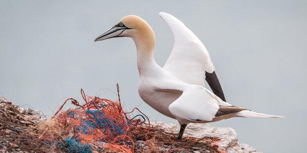 Zunehmende Krise: Gefahren für Seevögel