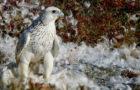 Gerfalke – Vielfarbiger Jagdvogel