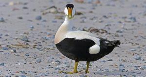 Der Seevogel des Jahres 2019: Die Eiderente