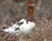 Moorschneehuhn – Zurückgezogener Tundrabewohner