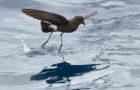 Buntfuß-Sturmschwalbe – wassertretender Winzling