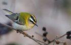 Sommergoldhähnchen – Winziger Nestbauprofi
