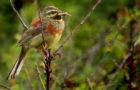 Zaunammer – Sonnenanbeterin mit Streifenmuster