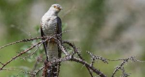 Ein Brutparasit in der Klemme: Neues vom Kuckuck