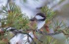 Lapplandmeise – Nordischer Flauschball