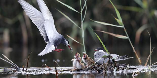 Weißbart-Seeschwalbe – Koloniebrüter mit Schwimmnest
