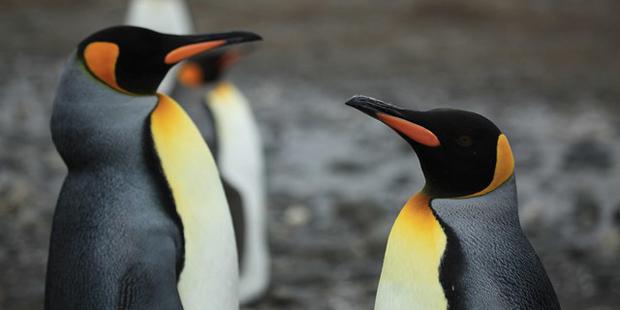 Treibjagd und Gesang: Wie intelligent sind Pinguine?