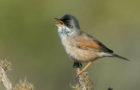 Brillengrasmücke – Insektenjägerin mit Augenring