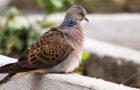 Die Turteltaube – Vogel des Jahres 2020