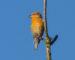 Kiefernkreuzschnabel – Nordischer Zapfenknacker