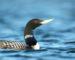 Gelbschnabeltaucher – Seevogel mit grafischem Muster