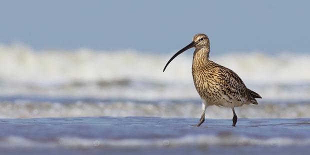 Frankreich: Jagdstopp für Brachvögel