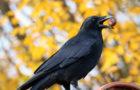 Pfiffig wie Menschenaffen: Wie Vögel Werkzeuge nutzen
