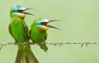 Blauwangenspint – Schillernder Insektenexperte