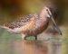 Großer Schlammläufer – Schnepfenvogel mit Riesenschnabel