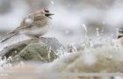 Winterbeobachtung: Sperlingsvögel im Wattenmeer