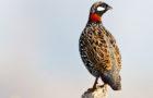 Halsbandfrankolin – Wärmeliebender Schreihals