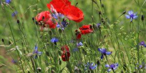 Blühstreifen – Wertvolle Lebensräume auf dem Feld