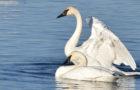 Trompeterschwan – Weiß gefiederte Tröte