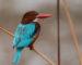 Braunliest – Kastanienbrauner Eisvogel