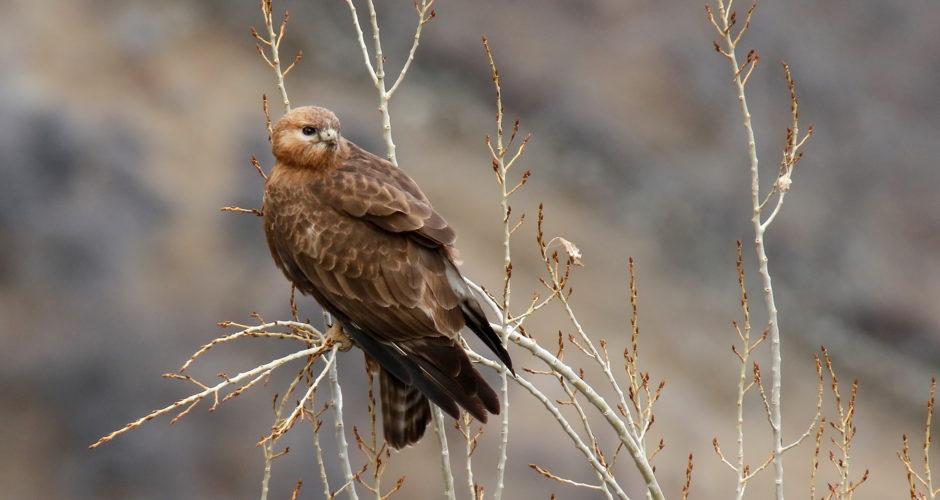 Adlerbussard – Jäger der Wüste