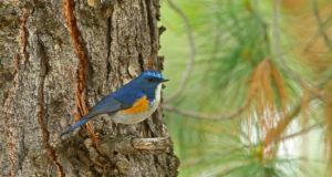 Blauschwanz – Saphir des Waldes