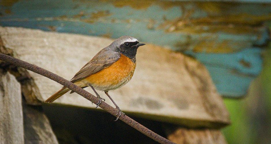 Gartenrotschwanz – Aufgeregter Höhlenbrüter