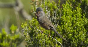 Provencegrasmücke – Rotäugige Heidebewohnerin