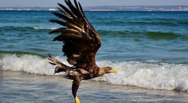 Könige der Küste: Seeadler auf Usedom