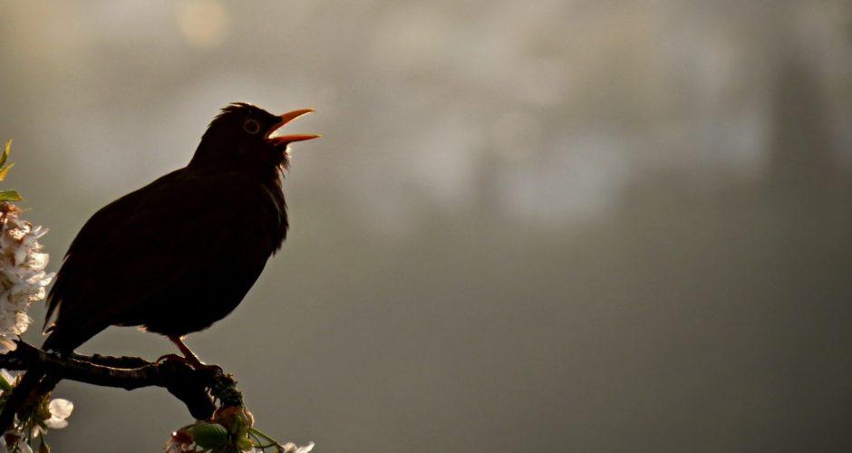 Dawn Chorus – Haltet das Vogelkonzert vor eurer Tür fest