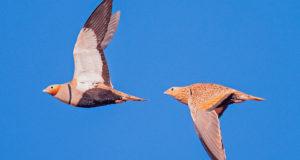 Sandflughuhn – Scheuer Vegetarier