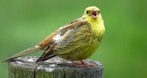 Vogelgesang erkennen – Tipps für aufmerksame Zuhörer