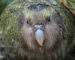 Duftendes Pummelchen: Der neuseeländische Kakapo
