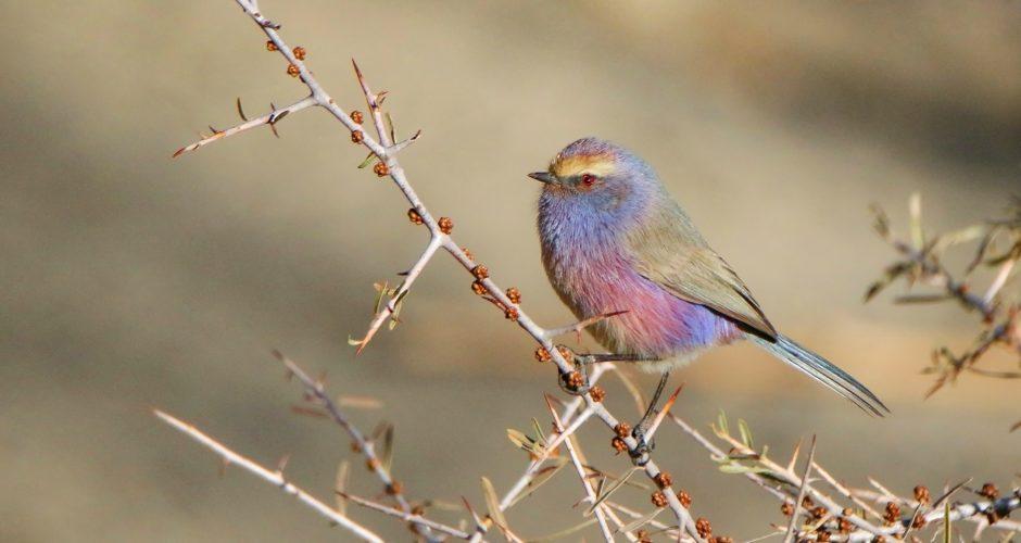 Purpurhähnchen – farbenprächtiger Winzling