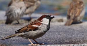 Tschilp! – Heimische Sperlinge unterscheiden
