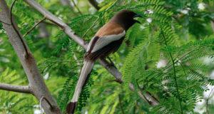 Wanderbaumelster – Langschwänziger Rabenvogel