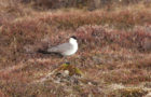 Falkenraubmöwe – Anmutiger Bodenbrüter