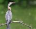 Indischer Schlangenhalsvogel – Pfeilschneller Jäger