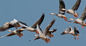 Wie hoch fliegen Zugvögel?