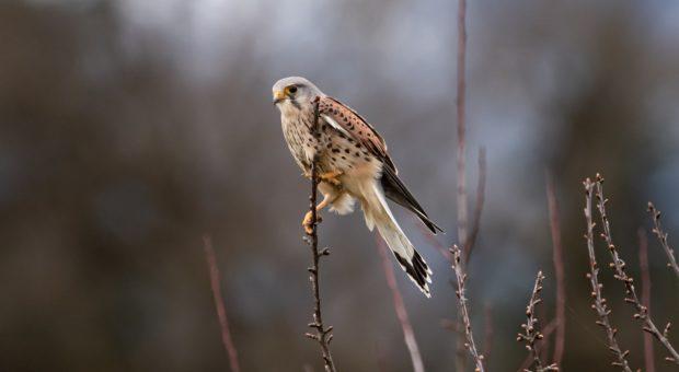 Greifvögel unterscheiden, Teil 2: Falken