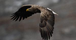 Greifvögel unterscheiden, Teil 4: Adler